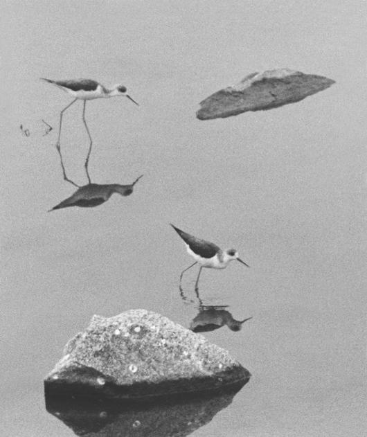 設立10周年記念ネット写真展「モノクロからの未来を読む」撮影 ◇ 小笠原昭夫珍鳥だった頃のセイタカシギ出展者一覧(お名前をクリックしてください)Copyright, 2005-           document.write(new Date().getFullYear());   2018 Bird Photo Archives All Rights Reserved.